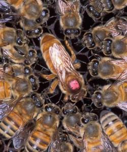 شگفتی های زنبور عسل