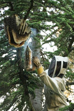 برداشت عسل خالص در جنگل