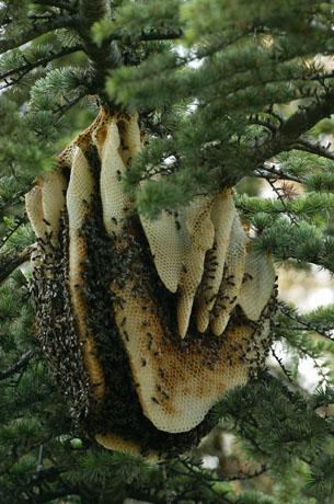 کندوی طبیعی عسل