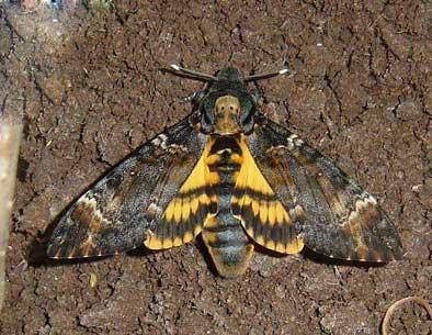 پروانه کله مرده، یکی از آفات کندوی عسل