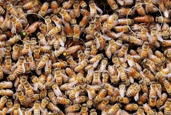 تصاویر کندوی عسل دارای 2 و یا 3 ملکه