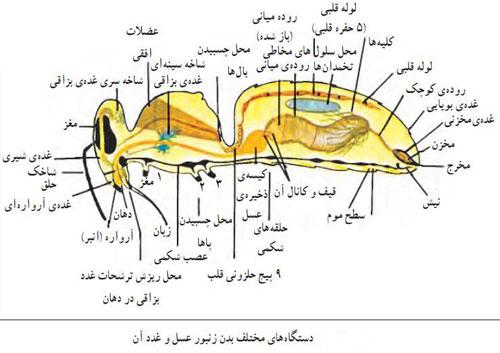 ساختار بدن زنبور عسل