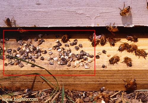 بیماری نوزادان سنگی در زنبور عسل