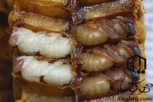 تخم-گذاری زنبورعسل