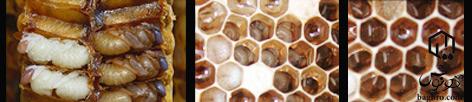 تخم-گذاری-زنبورعسل2