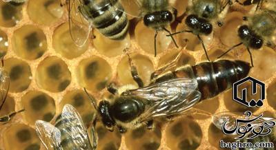 ملکه-زنبورعسل