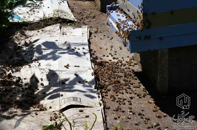 زنبور-عسل-های-مرده-در-اثر-سمپاشی