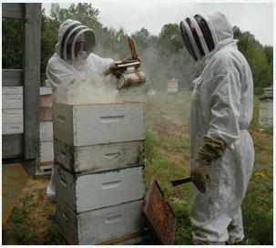 دود دادن کندوهای زنبور عسل