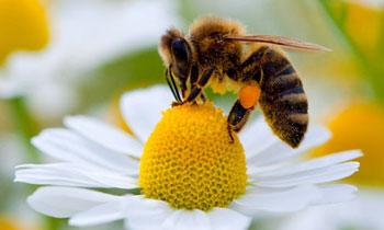 نکات کلیدی تکثیر مصنوعی زنبور عسل