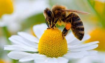 شپش زنبور عسل و روش کنترل آن