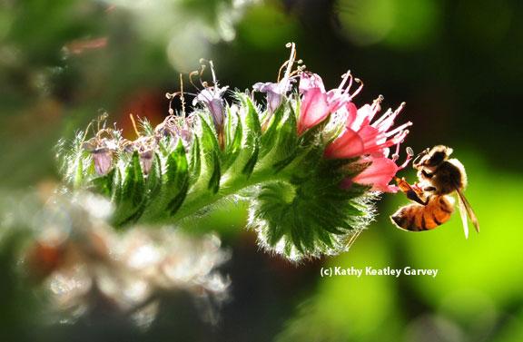 عکس زنبور عسل