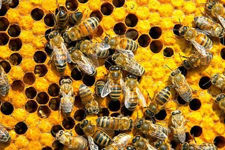 رفتار نژادهای مختلف زنبور عسل