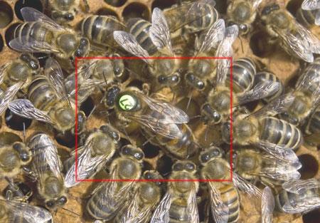 3 روش برای تولید ملکه زنبور عسل