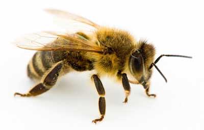 به زودی نسل سوم ملکه زنبور عسل در اردبیل پرورش مییابد