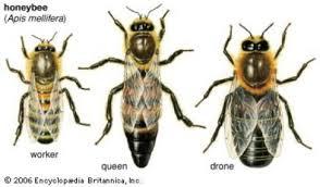 تغذیه خاص کندوی عسل جهت جلوگیری از کاهش تخم ریزی ملکه