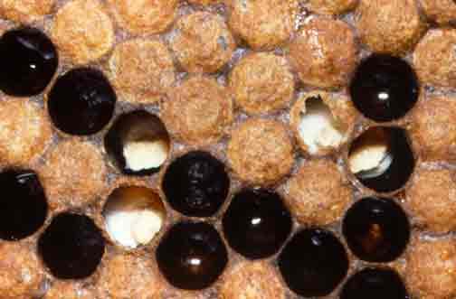 بیماری در زنبور عسل - نوزادان گچی