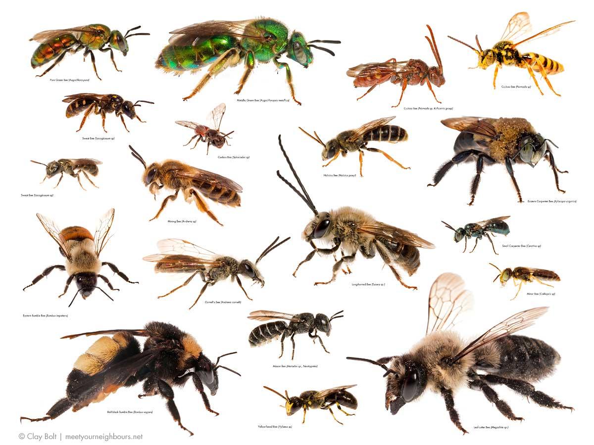 معرفی انواع زنبور عسل