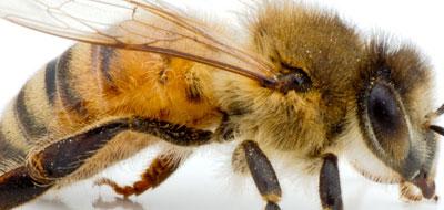مشخصات موهای سطح بدن زنبور عسل