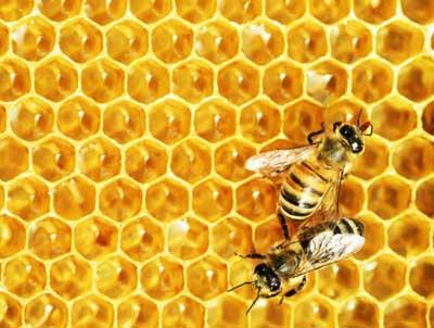 چه نکاتی در تكثير مصنوعی زنبور عسل اهمیت دارد