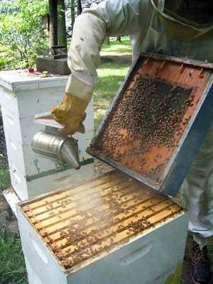 نابودی کندوهای عسل با یک آفت ناشناخته