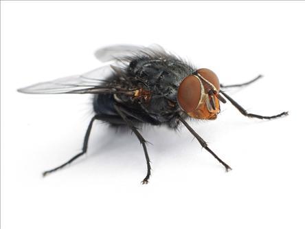 درمان زخمهای عفونی مزمن با عسل و لارو مگس