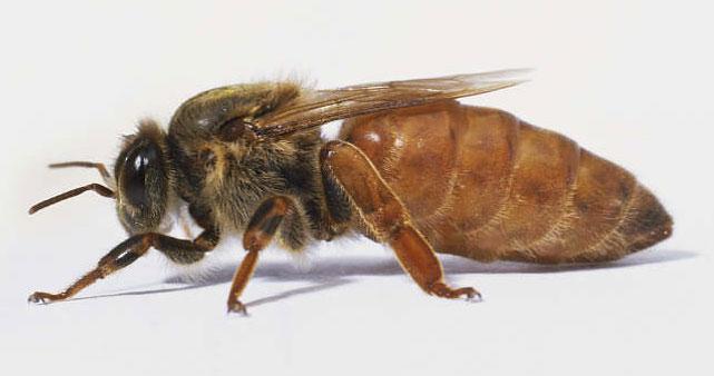 وظایف ملکه زنبور عسل در کندو