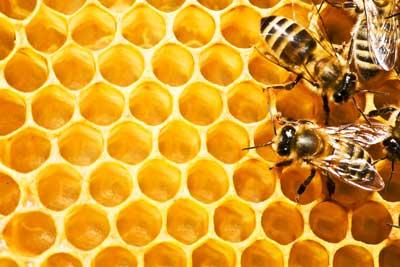 تولید ملکه زنبور عسل به روش تلقیح مصنویی در دانشگاه محقق اردبیلی