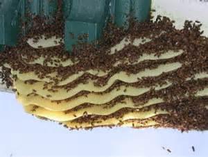 کندوی طبیعی ساخته شده زنبور
