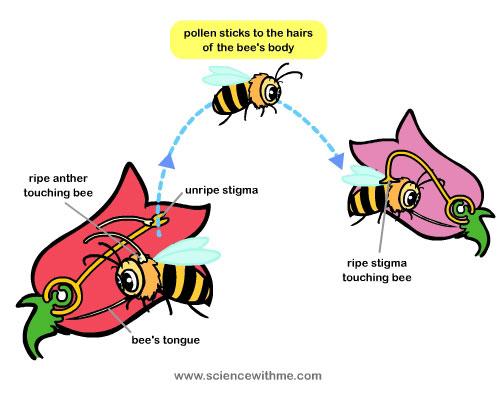 زنبور عسل رتبه اول در کار گرده افشانی